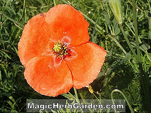 Papaver dubium (Long Headed Poppy)