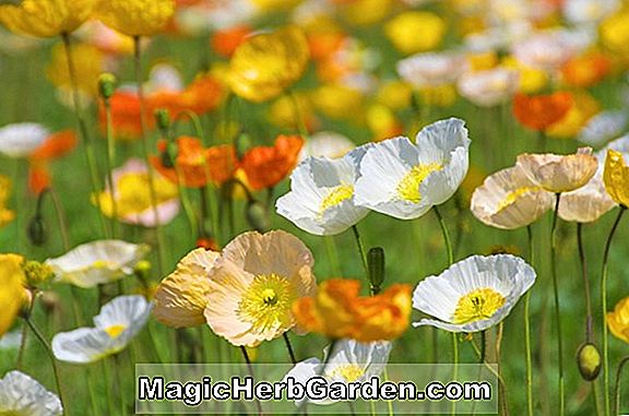 Papaver nudicaule (Arctic Poppy)