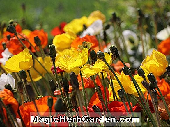 Planter: Papaver nudicaule (Island Poppy)