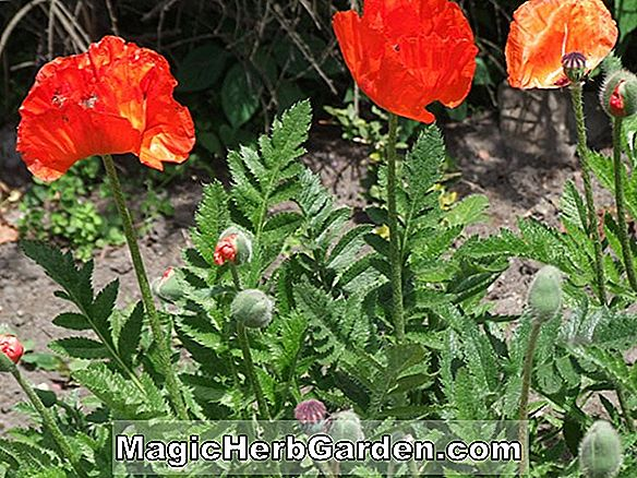 Papaver orientale (Mme Perry Poppy)