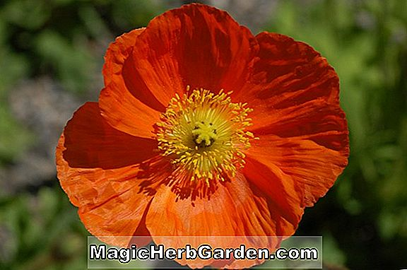 Papaver Orientale (Prinsen af ​​Orange Poppy)