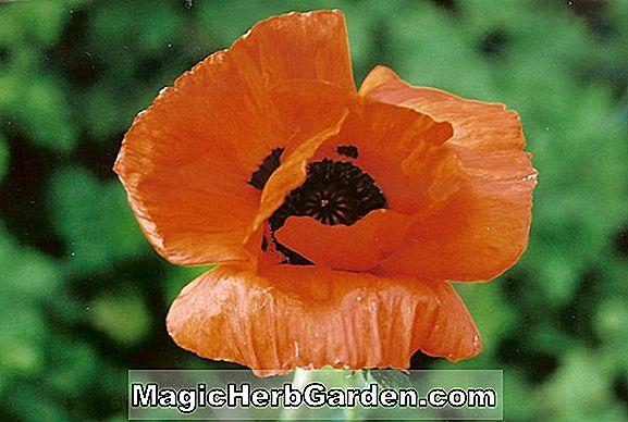 Papaver Orientale (Fru Perry Poppy)