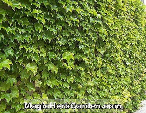 Parthenocissus tricuspidata (Beverly Brooks Parthenocissus)