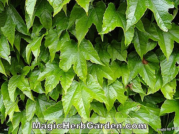 Parthenocissus tricuspidata (Green Showers Parthenocissus)