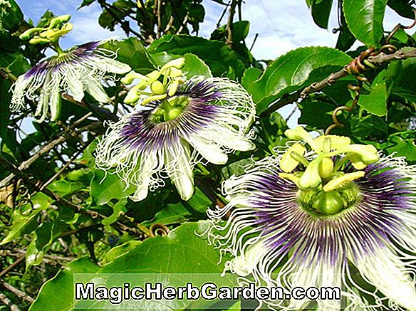 Passiflora alata (Winged-stam Passionflower)