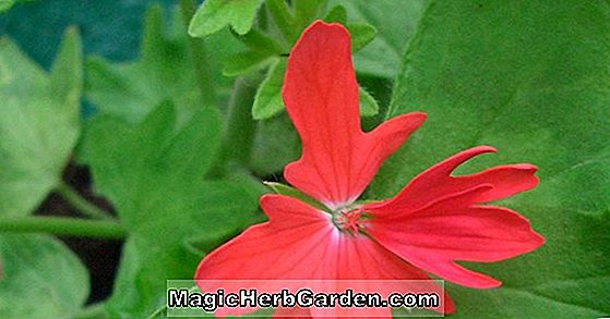 Pelargonium (Flower of Spring Geranium)