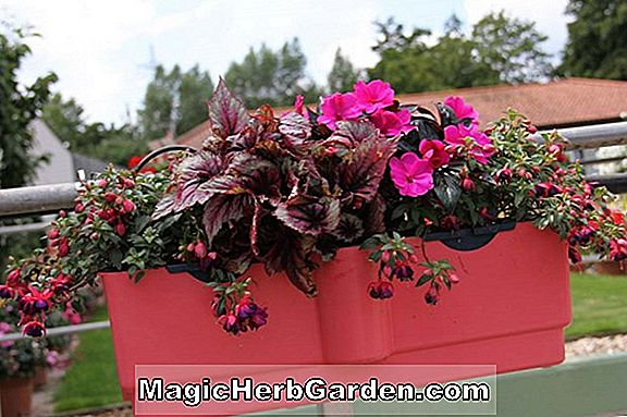 Planter: Pelargonium (Mauve Beauty Geranium)