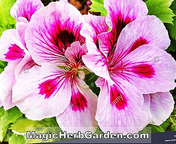 Planter: Pelargonium (Multibloom Series Geranium)