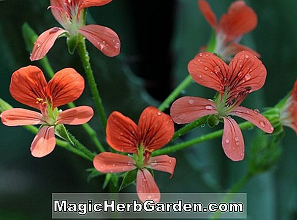 Pelargonium (Orange Appeal Geranium)