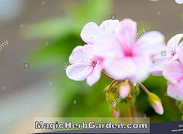 Pelargonium (Skeleton Leaf Rose Geranium)