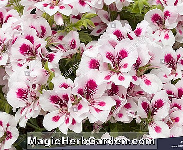Planter: Pelargonium (Rose Geranium)