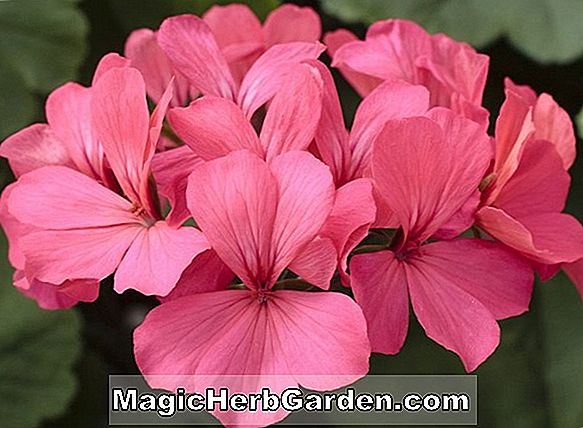 Planter: Pelargonium (Mabel Grey Geranium)
