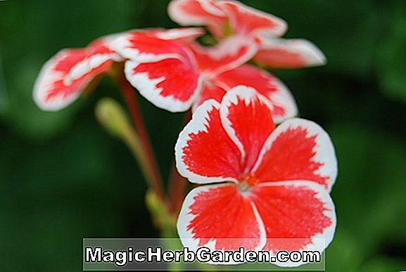 Planter: Pelargonium (Mr. Wren Geranium)