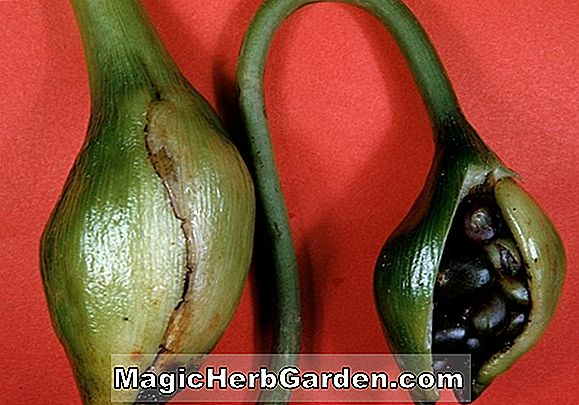 Peltandra virginica (Green Arrow Arum)