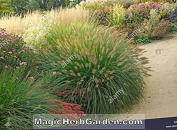 Plantes: Pennisetum alopecuroides (Little Bunny Fountain Grass)
