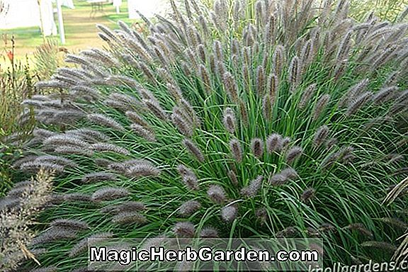 Planter: Pennisetum alopecuroides (Fountain Grass)