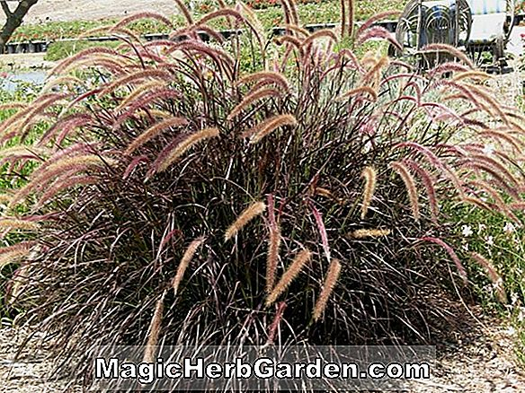 Pennisetum setaceum (Purpureum Fountain Grass)