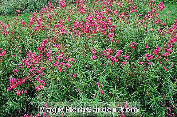 Penstemon (Newell Pink Penstemon)