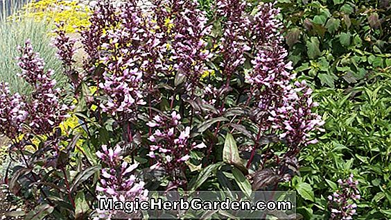 Planter: Penstemon (Husker Red Penstemon)