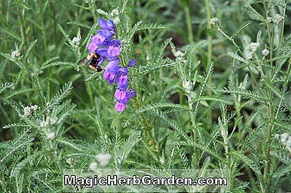 Plantes: Penstemon (Penstemon Elfe Rose) - #2