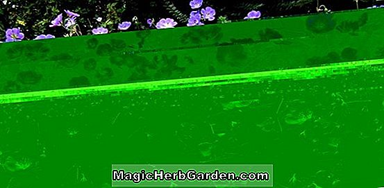Planter: Penstemon (Purple Gem Penstemon) - #2