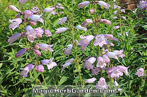 Pflanzen: Penstemon (Stapleford Gem Penstemon) - #2