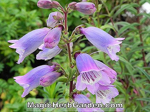 Penstemon (Sour Grapes Penstemon)