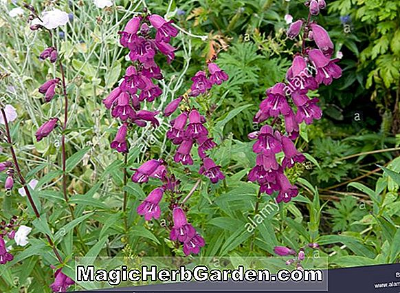 Penstemon (Charles Rudd Penstemon) - #2