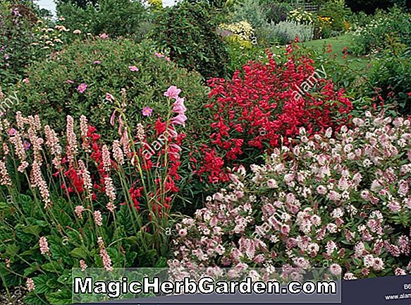Planter: Penstemon (Crystal Penstemon)