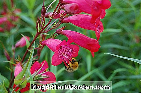 Penstemon barbatus (Firebird Beard-Tongue)