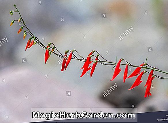 Penstemon barbatus (Beardlip Penstemon) - #2
