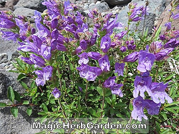 Penstemon cardwellii ('Roseus' Penstemon)