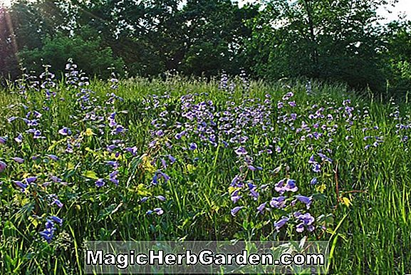 Penstemon grandiflorus (Large Beard-Tongue Penstemon)