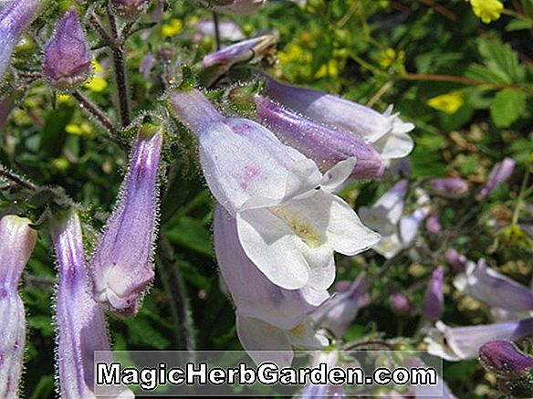 Penstemon hirsutus (Purpureus Penstemon) - #2