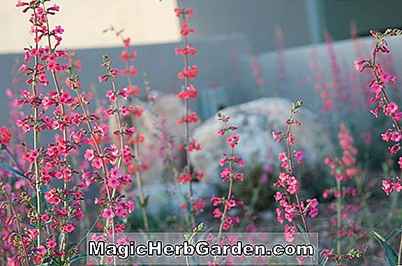 Penstemon palmeri (Scented Penstemon)