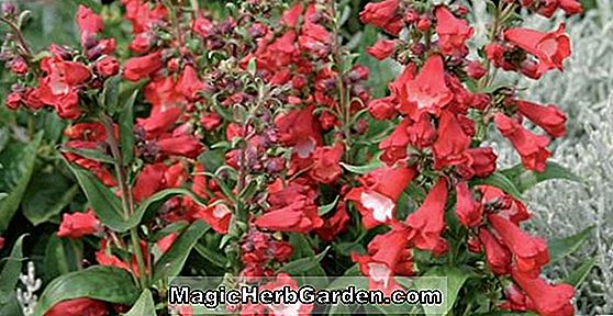 Penstemon strictus (Rocky Mountain Penstemon) - #2