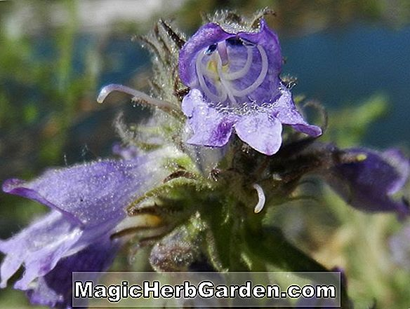 Planter: Penstemon whippleanus (Whipple's Penstemon)