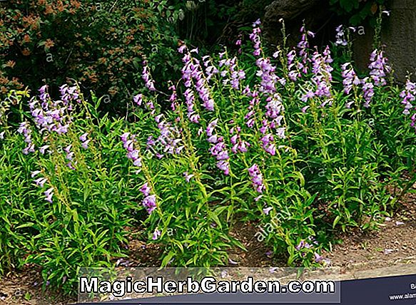 Planter: Penstemon (Pades Pink Penstemon)