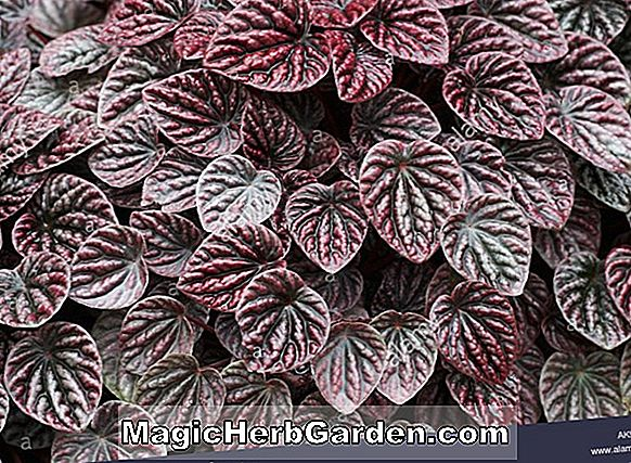 Planter: Begonia Green Berry (Green Berry Begonia)