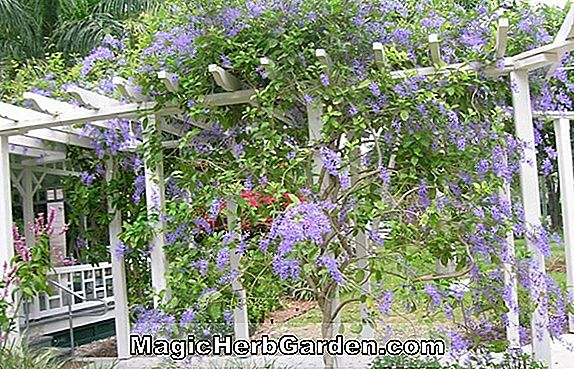 Planter: Petrea (Queen's Wreath)