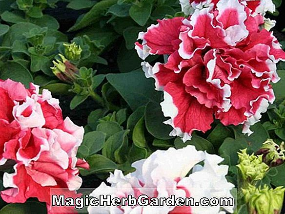 Planter: Petunia (Rose Star Petunia)