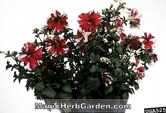 Planter: Petunia hybrida (Supertunia Group Petunia)