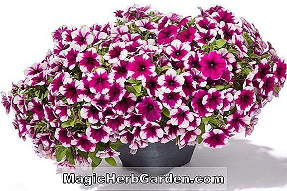 Petunia hybrida (Flash Series Petunia)