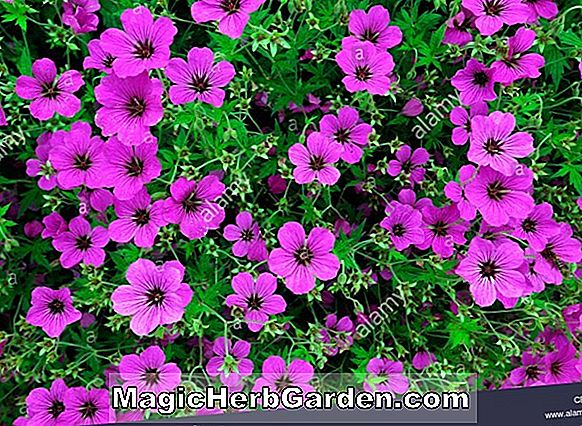 Planter: Petunia hybrida (Purple Wave Petunia)