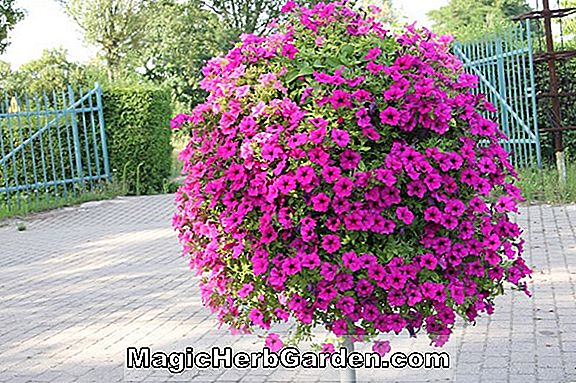 Planter: Petunia hybrida (Giants of California Petunia)