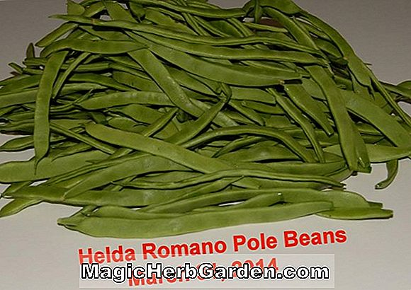 Planter: Phaseolus vulgaris (Goldmarie Pole Bean)