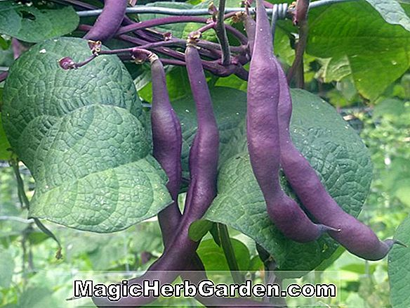 Phaseolus vulgaris (Robinson Purple Pod Pole Bean)