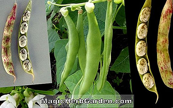 Phaseolus vulgaris (Arlington Red Cranberry Pole Bean)