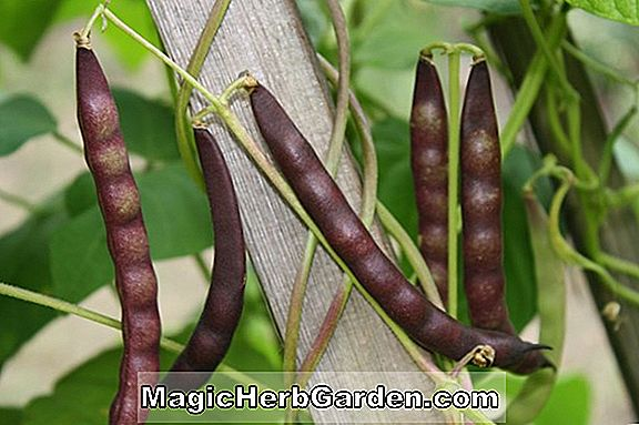 Phaseolus vulgaris (Yoeme Purple String Bean)