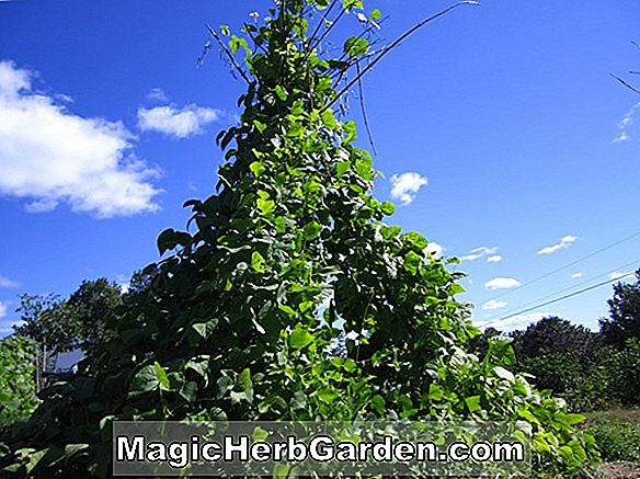 Planter: Phaseolus vulgaris (Blue Lake Pole Bean)